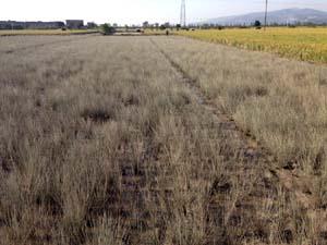 現在の様子 水が引いた田んぼの様子です。苗が枯れています。