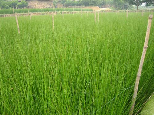 5月 藺草はとても順調に成長しているようです。